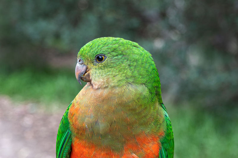 Australian king parrot, alisterus scapularis, perched on a fence post, kennett river, australia