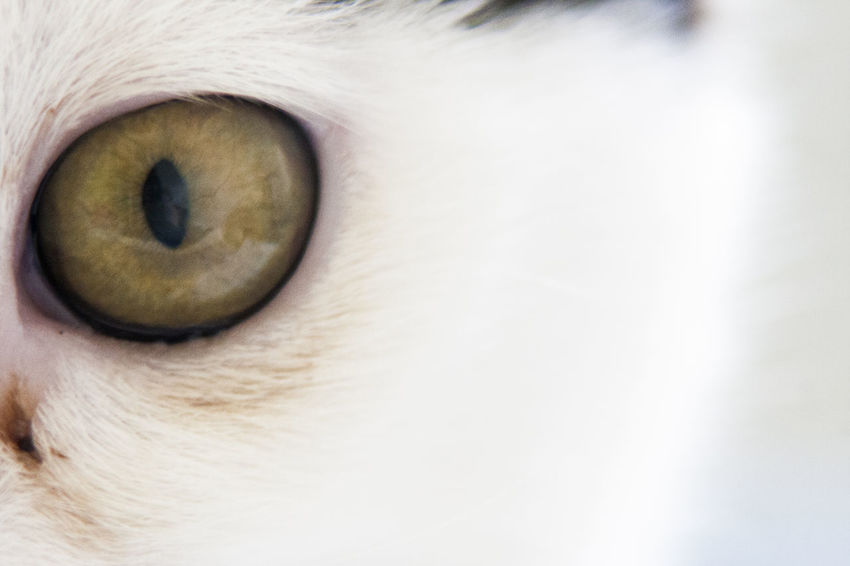 Animal Body Part Animal Eye Close-up Day Domestic Animals Eyeball Eyesight Indoors  Iris - Eye One Animal Pets