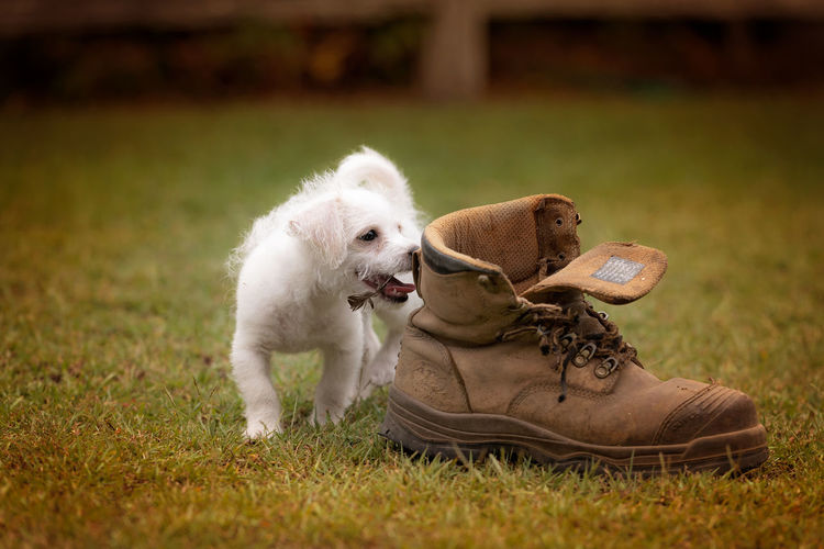 White Puppy Licking Brown Shoe On Grassy Field