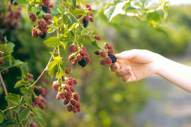 Berry Fruit Body Part Day Finger Focus On Foreground Food Food And Drink Freshness Fruit Growth Hand Healthy Eating Holding Human Body Part Human Hand Human Limb Lifestyles Nature One Person Outdoors Plant Real People Ripe Unrecognizable Person Wellbeing