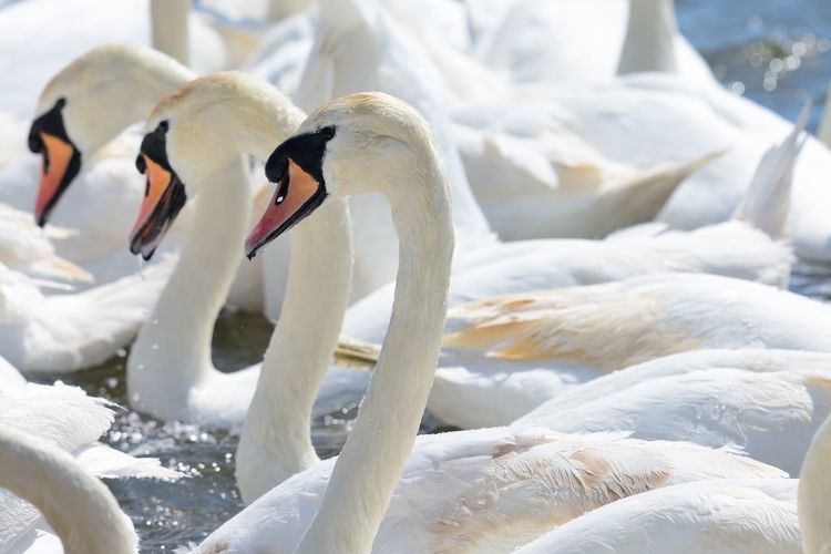 Close-up of swans swimming in lake