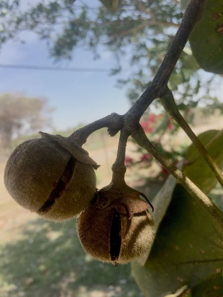 Fruit African Fruit Close-up Focus On Foreground Low Angle View Outdoors Hanging Fruit No People Amaturephotography Tree Nature