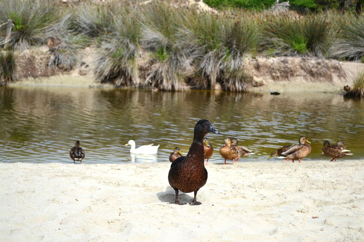Animals In The Wild Nature Animal Themes Animal Wildlife Animals In Captivity Animals In The Wild Baleares Beach Beauty In Nature Bird Day Duck Ducks At The Lake Ducks In Water Lake Lifestyles Menorca Menorca Beach Nature No People Outdoors Swimming Water
