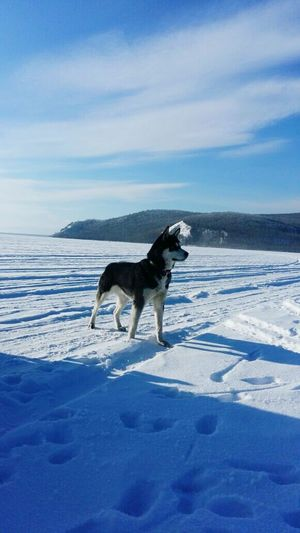 Snow Dog Blue Winter Sky Pets Cold Temperature Environment One Animal Outdoors No People Nature Animal Themes Day