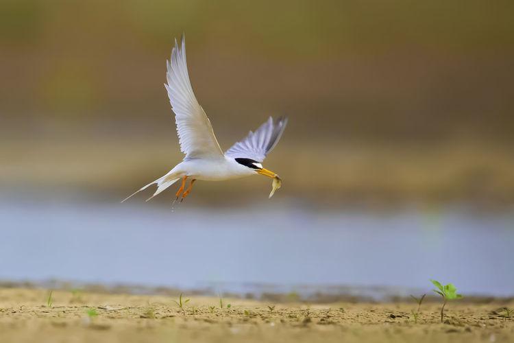【白额燕鸥】雄鸟除参与抱窝、守窝