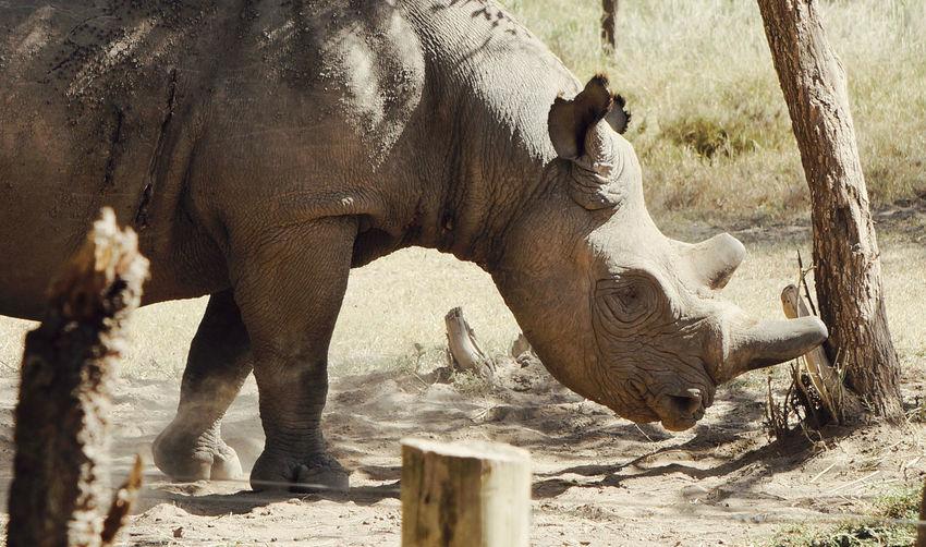 """Sudan"" last male northern white Rhino who died in March, 2018 Kenya Animal Animal Body Part Animal Head  Animal Themes Animal Wildlife Animals In The Wild Day Extinct Extinction Focus On Foreground Herbivorous Land Mammal Nature No People Ol Pejeta Outdoors Rhino Safari Sunlight"
