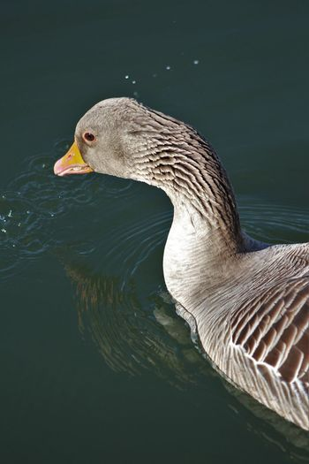 Animal Head  Beak Beauty In Nature Bird Close-up Day Focus On Foreground Greylag Goose Nature No People Outdoors Rippled Tranquility Water Wildlife