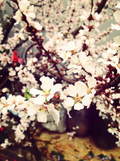Spring Flower 앵두꽃이 만발~ 덕분에 벌들도 잔뜩~ 앵두가 잔뜩 잔뜩 달릴꺼에요'