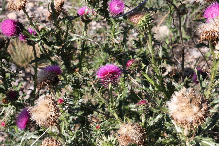 New Mexico, USA Beauty In Nature Cardoon Close-up Day Flower Flower Head Fragility Freshness Growth Nature No People Outdoors Plant Purple Thistle