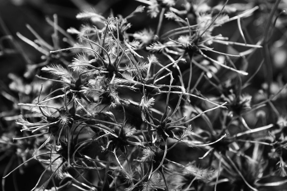 Black And White Blackandwhite Botany Close-up Eye4photography  EyeEm Best Shots EyeEm Nature Lover Feather  Feathers Fluffy Focus On Foreground Growth Maximum Closeness Monochrome Monochrome Photography Nature Nature Photography Nature_collection Outdoors Plant Plant Life Plants Plants 🌱 Relaxing Taking Photos