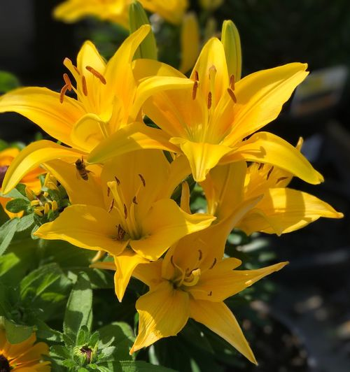 Close-up of yellow day lily blooming outdoors