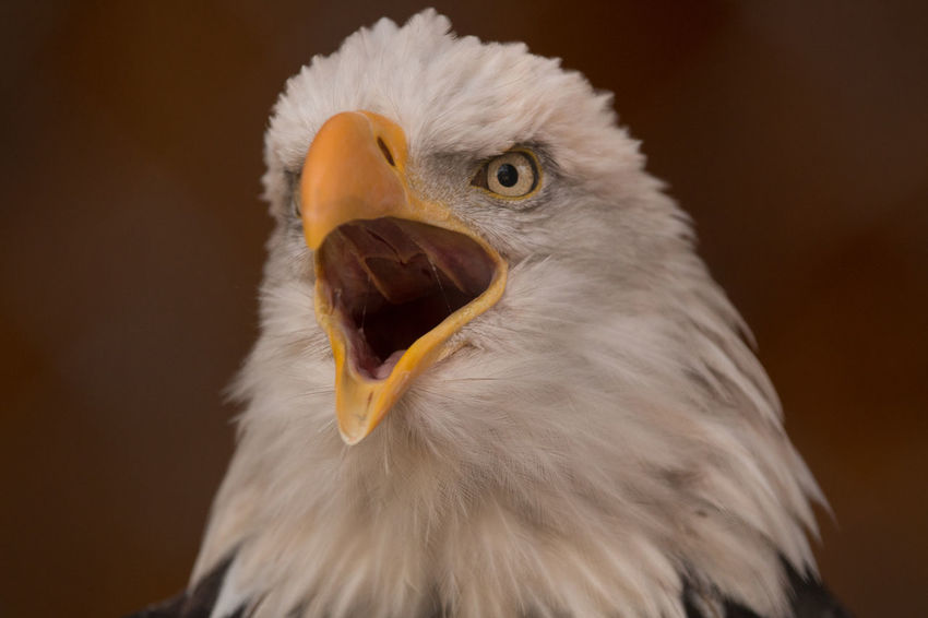 Bald Eagle Bald Eagle Portrait Animal Animal Head  Animal Themes Animal Wildlife Animals In The Wild Bald Eagle Bald Eagle Close-up Beak Bird Bird Of Prey Close-up Day Eagle - Bird Feather  Nature No People One Animal Outdoors Portrait