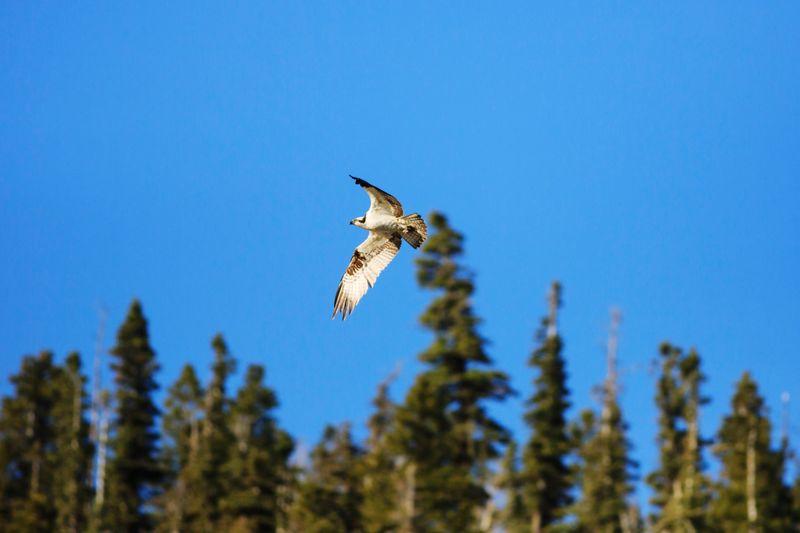 osprey in flight Osprey  Bird Photography Utah Southern Utah  Wildlife Flying Bird Bird Of Prey Flying Bird Spread Wings Sky Close-up
