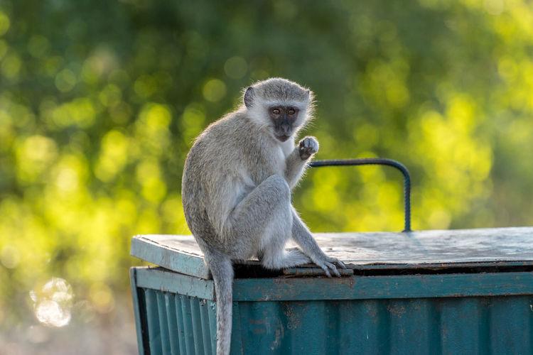 Monkey sitting on garbage can