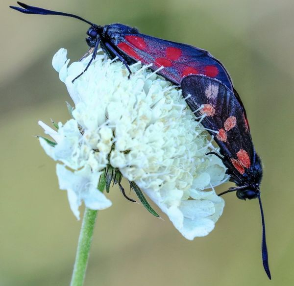 Insect Animal Wildlife Animal Themes One Animal Animals In The Wild Nature Close-up Focus On Foreground Fragility Flower No People Beauty In Nature Full Length Day Perching Outdoors Burnet Moth Moth Copulation Copulating Mating Mating Insect Red And Black Red And Orange Wings