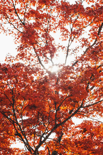 Red Sky Tree Autumn Change Plant Low Angle View Nature Beauty In Nature Branch Orange Color No People Sky Growth Day Sunlight Outdoors Tranquility Scenics - Nature Leaf Plant Part Idyllic Fall Tree Canopy  Natural Condition