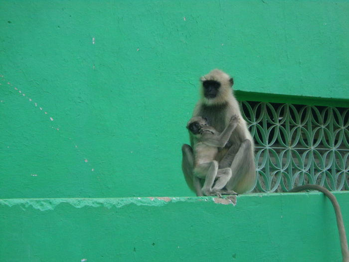 Monkey sitting on green wall