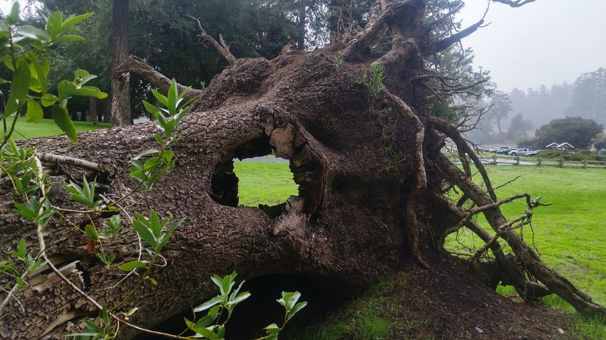 Growth Tree Plant Nature Green Color Outdoors Day No People Beauty In Nature Close-up Dead Plant Tree Cave Treecollection Fallen Tree Outdoor Photography Growth Beauty In Nature Tree California Non-urban Scene Hole In Tree See Through Green Cavity Grass