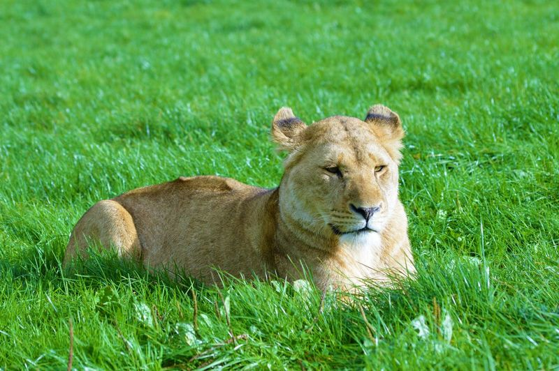 Lions on a grassy plain African Beast Dangerous Animals Lion Panthera Leo Relaxing Africa Animal Portrait Barbary Carnivore Cat Cats Danger Feline Furry Hunt Lioness Mane Predator Pride Relaxed Simba Teeth Whisker Wildcat