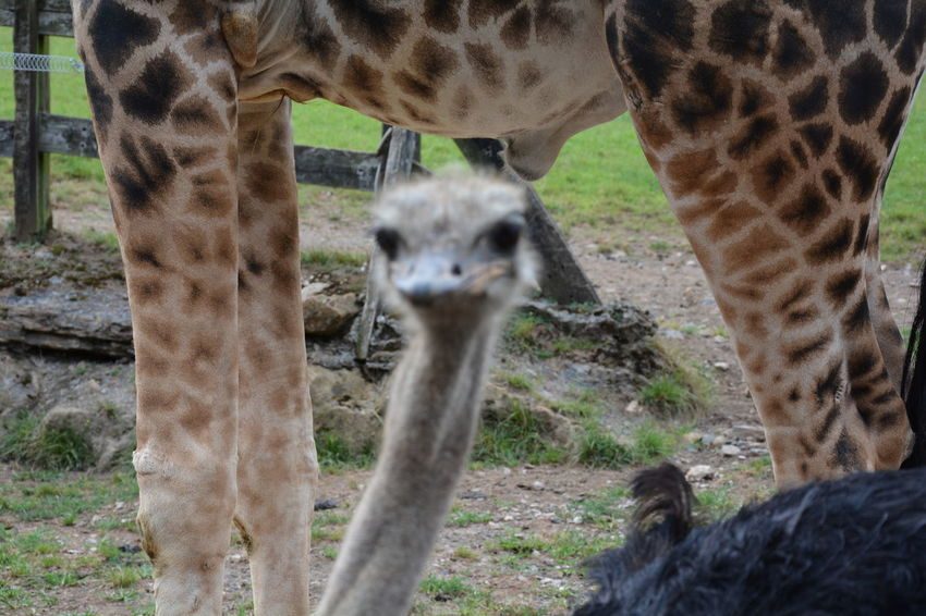 Animal Head  Animal Nose Animal Themes Animals In The Wild Day Domestic Animals Endangered Species Fawn Field Giraffe Herbivorous Hoofed Mammal Looking At Camera Mammal Nature One Animal Ostrich Outdoors Standing Tree Trunk Two Animals Wildlife Zoo Zoology