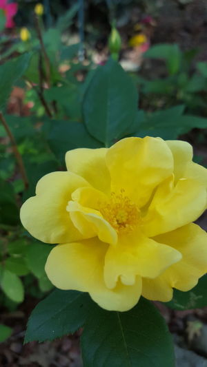 Rose Flower Yellow Petal Flower Head Freshness Beauty In Nature Nature Plant Close-up Outdoors Londonderry Blossom EyeEm Nature Lover EyeEm Best Shots - Nature Garden EyeEm Best Shots Beauty In Nature Growth No People Softness Freshness