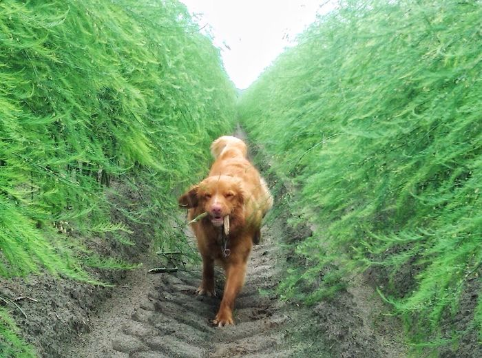 Dogslife Running Wild And Free Between Nature Toller Redhead Having Fun Movement Landscape Outdoor Photography Domestic Animal Young Dog