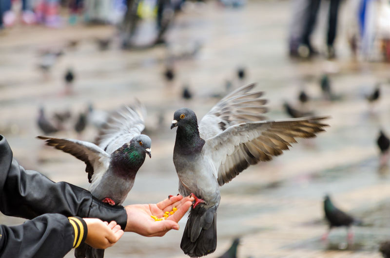 People Feeding Pigeons With Corns In Palm At Bolivar Square
