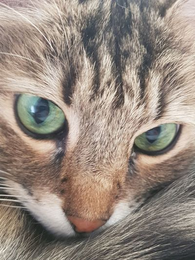Love Cat Samur  Pets Portrait Yellow Eyes Siamese Cat Feline Kitten Looking At Camera Domestic Cat Whisker Eye