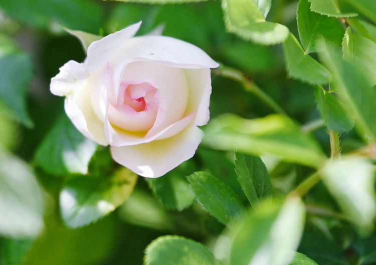 Flower Flowering Plant Plant Beauty In Nature Rosé Petal Freshness Close-up Rose - Flower Fragility Inflorescence Vulnerability  Flower Head Nature Growth Pink Color Leaf Focus On Foreground White Color No People