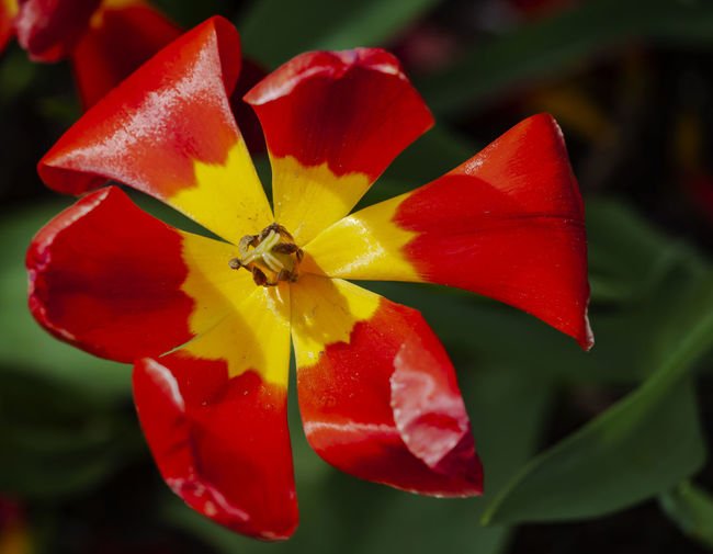 dying tulip Tulip Dying Tulip Red And Yellow Tulip Flower Spring Flowers Spring Foliage Spring Colors Tulip Still Life Nature Beauty In Nature