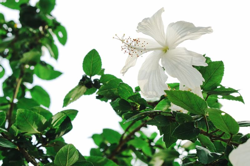Flower Leaf White Color Blossom Nature Petal Plant Green Color Flower Head Fragility Day Branch No People Beauty Freshness Close-up Tree Outdoors Beauty In Nature White Flower White Hibiscus Flower Backlight