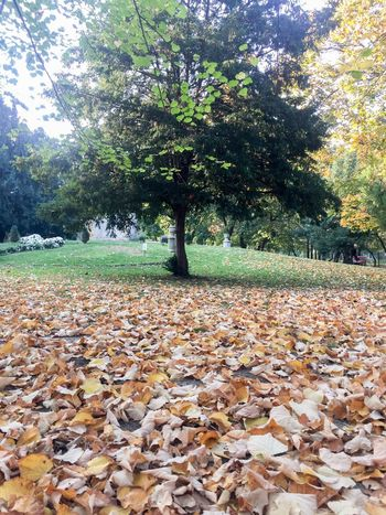 Autumn Leaf Tree Nature Change Beauty In Nature Tranquility Leaves Day Scenics Growth Outdoors Tranquil Scene Fallen Park - Man Made Space No People Tree Trunk Grass Maple
