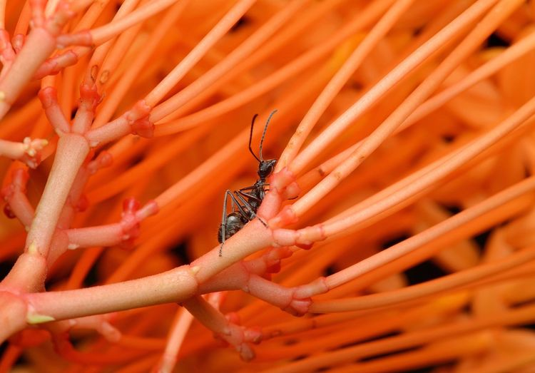 Stuck in a maze Animal Themes Animals In The Wild One Animal Orange Color Insect Animal Wildlife Day Nature Outdoors Close-up No People Plant Growth Freshness Ant Ixora Flowers EyeEmNewHere Macro_collection The Week On EyeEm EyeEm Best Shots EyeEmBestPics Beauty In Nature Macro Beauty Macro Photography