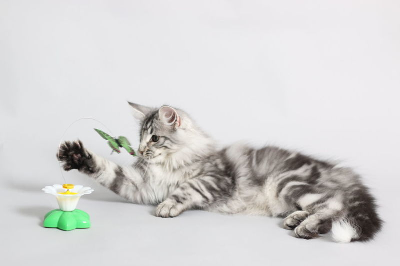 Norsk Skogkatt Kitten 16WEEKS Domestic Cat Pets Domestic Animals Feline Tabby Cat Full Length No People Indoors  Mammal