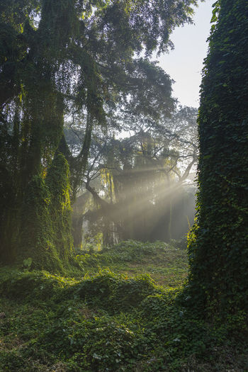 About to reveal... Forest Sunrise Sunbeam Sunrays Mist Tree Sky Grass Growing Streaming Foggy Young Plant Woods Blooming Plant Life Tree Trunk Tranquil Scene Tranquility