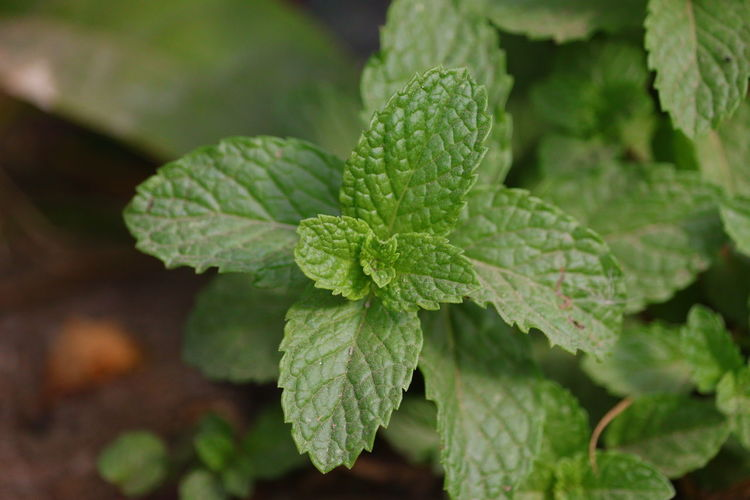 Fresh mint leaves growing in the garden , leaf texture
