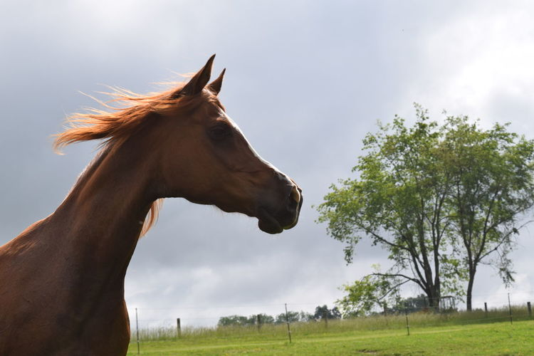 Arabian Horse Silhouette Animal Silhouette Animal Themes Arabian, Equine,breeze, Mane,t Cloud - Sky Day Domestic Animals Field Field,pasture,farm,fence Grass Horse Mammal Nature No People One Animal Outdoors Sky Tree