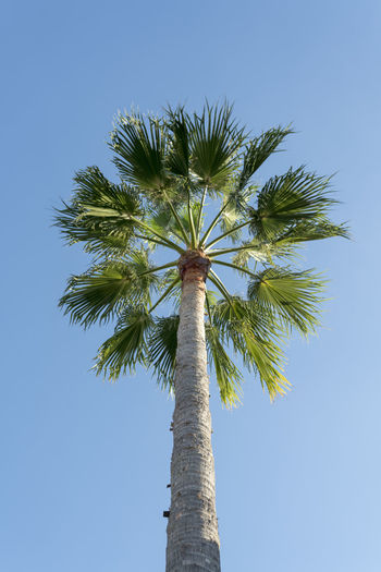 SPAIN Tropical Tropical Tree Tropical Plants Tropical Plant Greenery Sky Low Angle View Tree Palm Tree Tree Trunk Plant Tall - High Tropical Climate Nature Growth Day Clear Sky No People Beauty In Nature Outdoors Coconut Palm Tree Sunlight Palm Leaf Directly Below