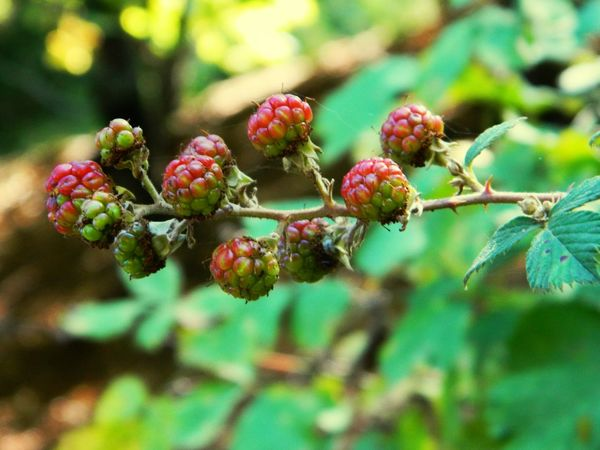 No People Plant Growth Nature Outdoors Beauty In Nature Green Color Close-up Focus On Foreground Red Food Black Berry Fruit EyeEm EyeEm Gallery EyeEm Nature Lover Eyeem Plant