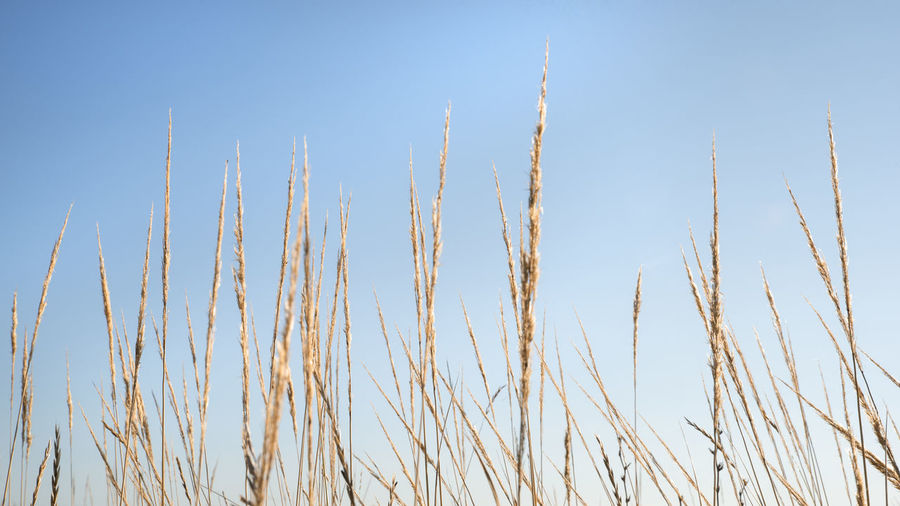 Close-up of stalks against clear blue sky