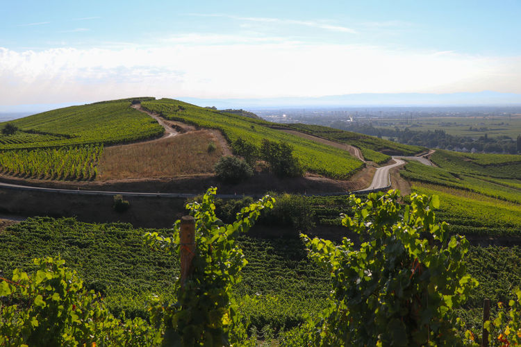 Vineyard in Alsace Agriculture Beauty In Nature Cloud - Sky Day Environment Farm Field Green Color Growth Land Landscape Nature No People Outdoors Plant Plantation Rolling Landscape Rural Scene Scenics - Nature Sky Tranquil Scene Tranquility Tree Vineyard Winemaking