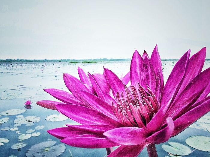 Close-up of pink water lily in lake against sky