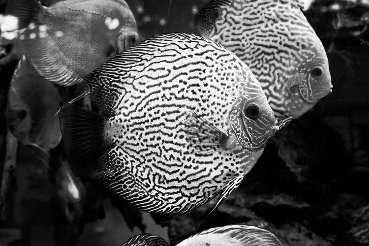 diskus exotic fish aquarium Animal Themes Close-up Day Nature No People Orange, Colorful, Nature, Fish, Animal, Water, Red, Background, Aquatic, White, Beautiful, Koi, Swim, Pet, Yellow, Color, Pond, Japanese, Carp, Garden, Gold, Underwater, Tropical, Swimming, Black, Wildlife, Life, Hobby, Decorative, Natural, Exotic, Aquari UnderSea