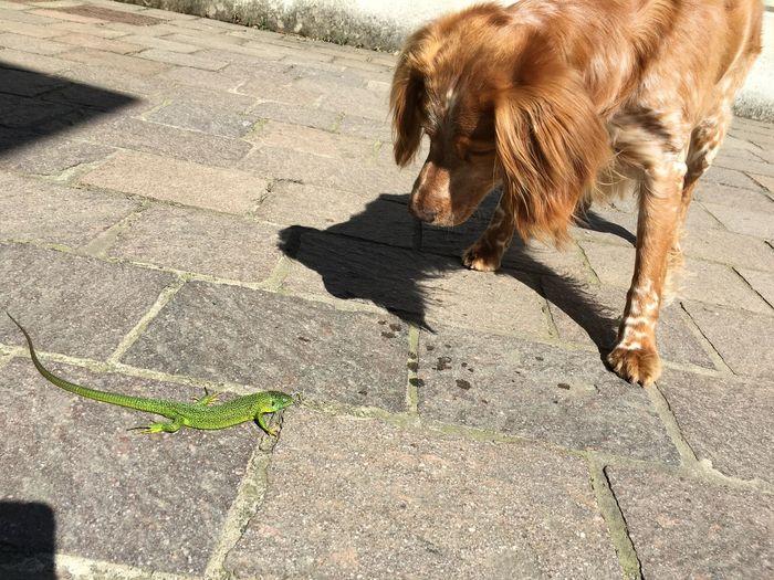 Whisky Epagneul Breton Green Lizard