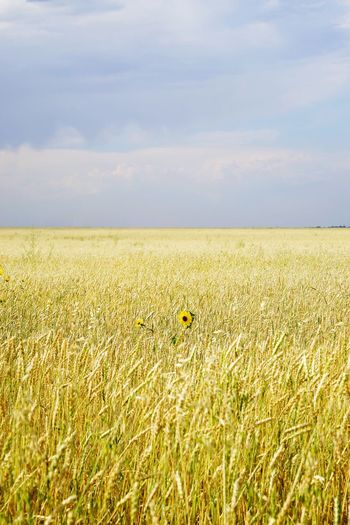 Wheat field, blue sky and sunflower Wheat Wheat Field Sky Field Agriculture Land Landscape Growth Cloud - Sky Tranquility Rural Scene Beauty In Nature Tranquil Scene Environment Nature Yellow Day Farm Scenics - Nature Horizon Horizon Over Land