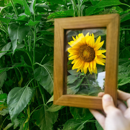 Pollen Flower Plant Flowering Plant Freshness Yellow Fragility Hand Growth Beauty In Nature Vulnerability  Human Hand Human Body Part Nature Flower Head One Person Close-up Real People Inflorescence Holding Leaf Body Part Finger Outdoors Gardening Sun Sunflower Frame Photo Frame Wood Frame