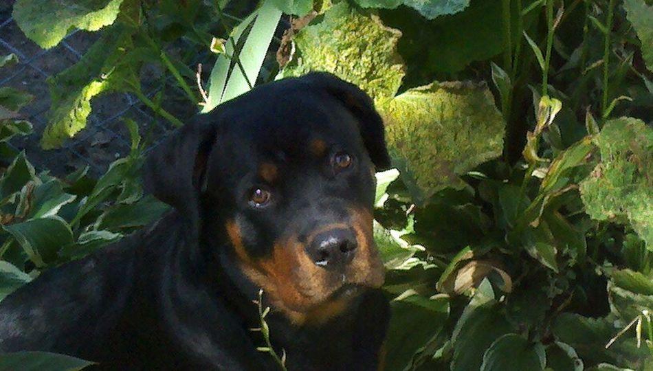 Rottweiler I Love My Dog