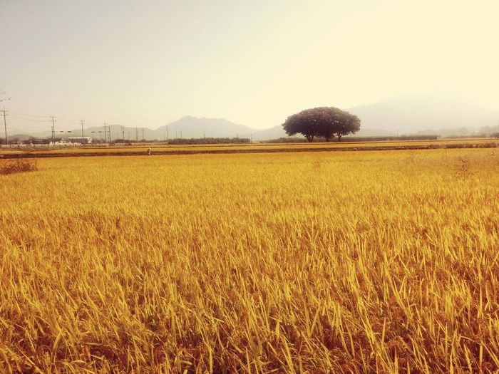 Chojeon Field Harvest Homeofmyfather Theplaceofmind First Eyeem Photo