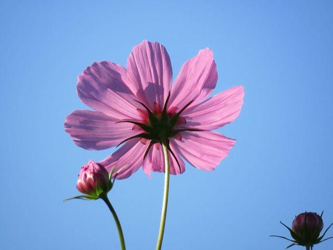 Flower コスモス Cosmos Flower Cosmos 秋桜 花 秋の花