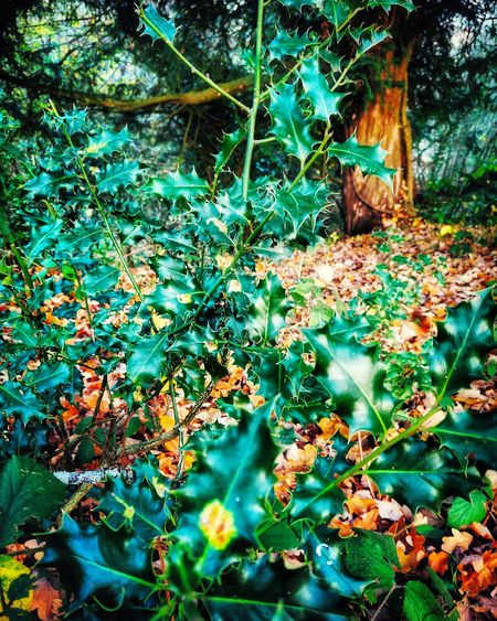 TheHollyAndTheIvy Arboretum Bristol Autumn colors Autumn Wood Aesthetics Empty Flowers Growing Holly Tree Branch Full Frame Leaf Backgrounds Close-up Plant Green Color Ivy Creeper Plant Overgrown Plant Life Dense Blossom Botany Root Green Lush Foliage Lush Greenery EyeEmNewHere